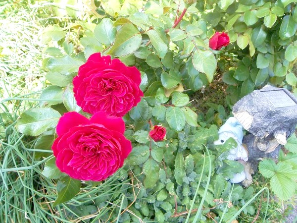 Англійські троянди Остіна.