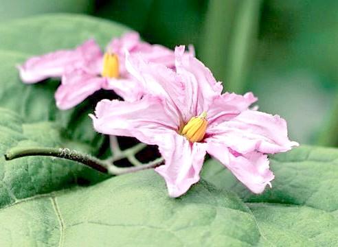 Баклажан, цвітіння, Solanum melongena