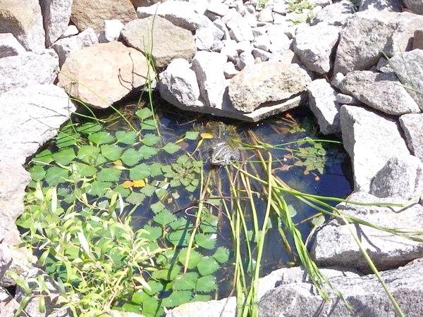 Жаба Марфа на листках водяного горіха