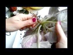 Хвороби і шкідники фіалок: борошниста роса, фітофтороз, попелиці, кліщі, червеці