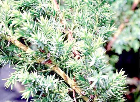 Ялівець китайський Блю АЛПС, Juniperus chinens