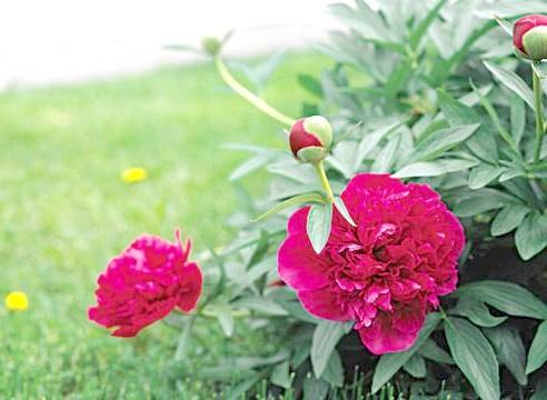 Півонія, кущ, квіти, Paeonia