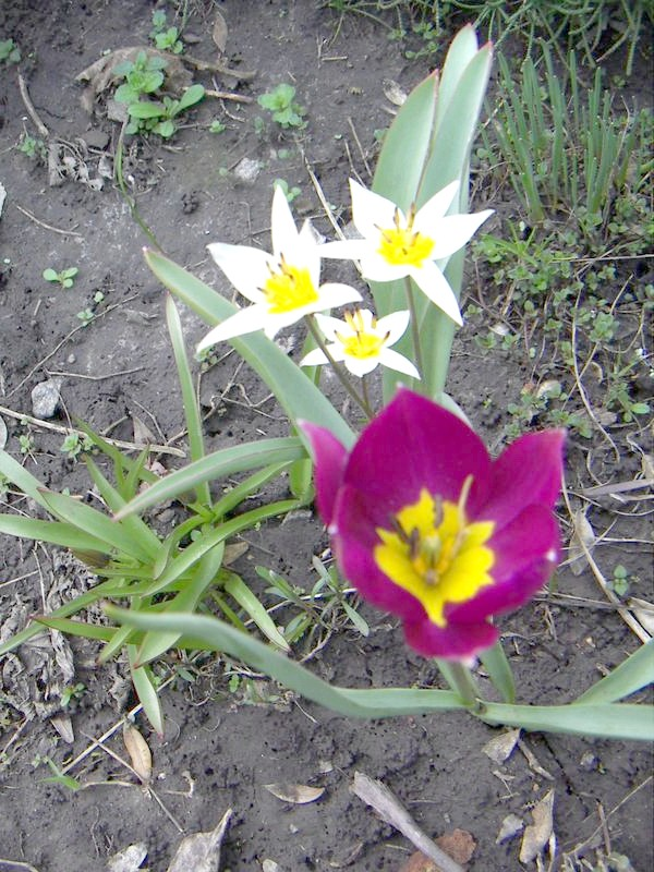 ботанічні тюльпани