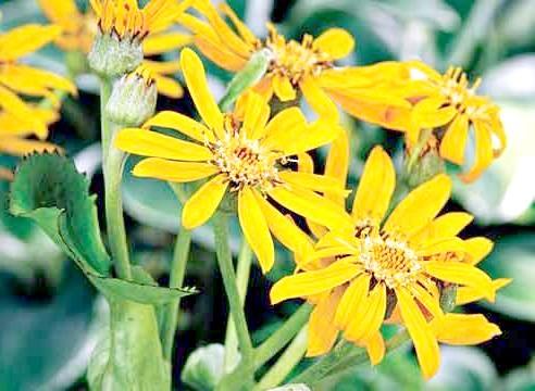 Бузульник, квіти, Ligularia