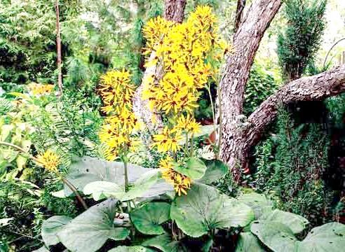Бузульник, в саду, Ligularia