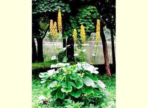 Бузульник, цвітіння, Ligularia
