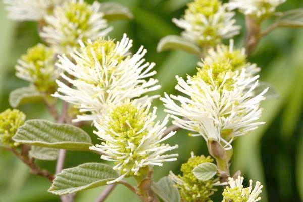 Вільха цвіте