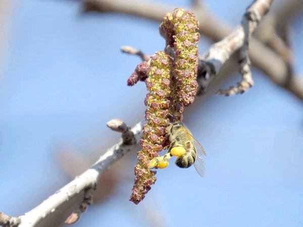 Бджола на вільхи. Фото з сайту beebazar.ru