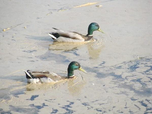 Пилок вільхи на воді. Фото з сайту panoramio.com