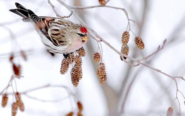 Птах на вільхи
