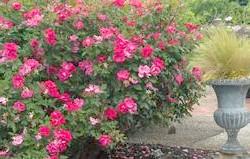 Чим хороші кущові троянди різних видів, і в чому особливості догляду за ними?