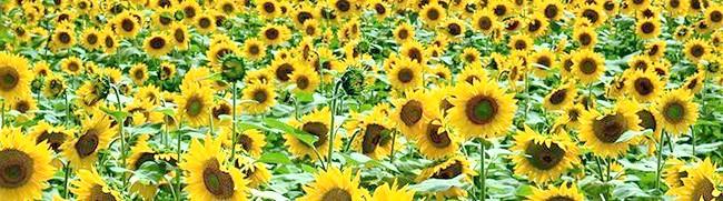Фото - Чим корисний корінь соняшника, лікувальні властивості і шкода від рослини