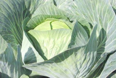 Фото - Що допоможе зберегти капусту свіжою до весни?