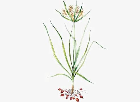Чуфа Cyperus esculentus