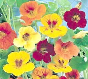 Фото - Квітка «з бульвару капуцинів» або чудова настурція для вашої дачі