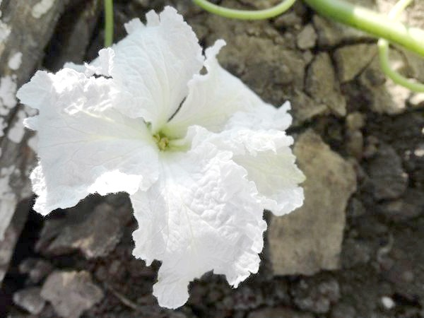 Фото - Квітка гарбуза сорту
