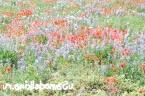 Фото - Квітуча галявина своїми руками - як виростити мавританський газон або газон з конюшини