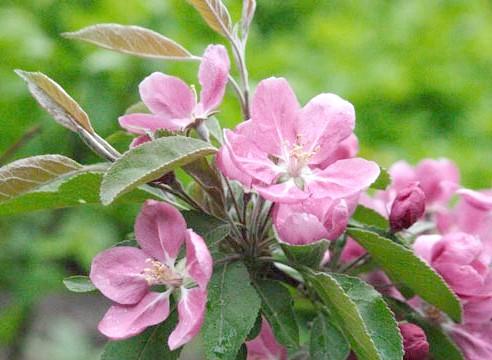 Декоративна яблуня, цвітіння