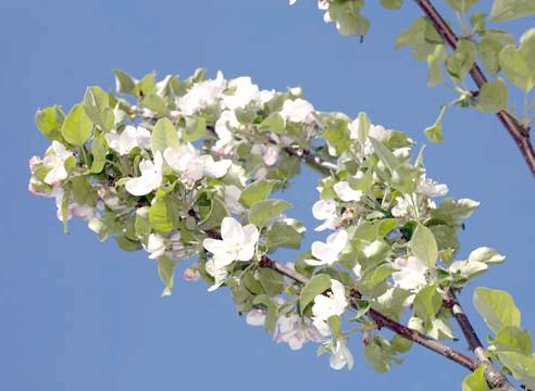 Яблуня, цвітіння
