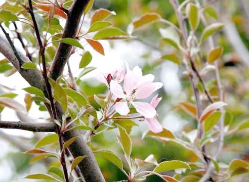 Яблуня декоративна, ягідна
