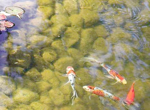 Водойма з рибками