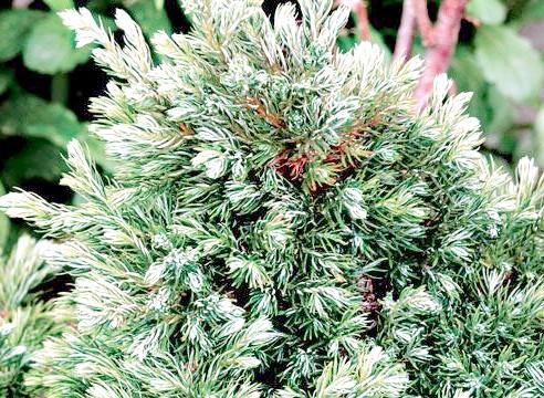 Ялина канадська, ф коника, Picea glauca f conica