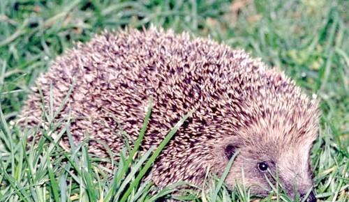 Фото - Їжачок в еко-саду - друг і помічник садівника. що їдять їжаки та інші цікавинки
