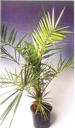Фінікова пальма