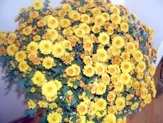 Фото: хризантема мелкоцветковая