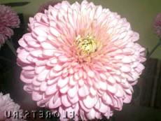 Квітка хризантеми