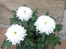 Фото хризантеми