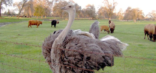 Зображення страуса на вигулі, reliableanswers.com