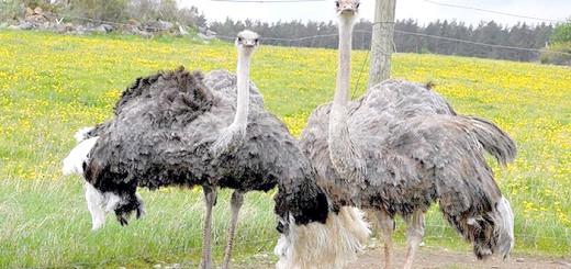 Фотографія африканського страуса, animalworld.com.ua