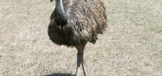 Зображення австралійського страуса Ему, gold-fazan.com.ua