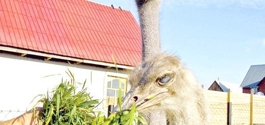 Годування страуса зеленню, belokuriha-foto.ru