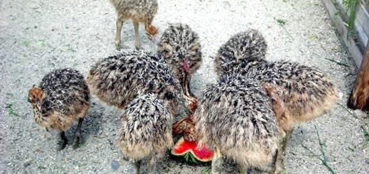 Маленькі страусята їдять кавун, derevnyaonline.ru