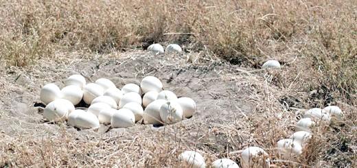На фото гніздо зі страусиними яйцями, ianimal.ru