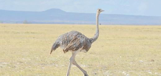 На фото страус у природному середовищі, wordpress.com