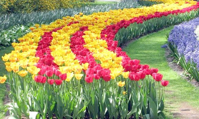 На фото голландські тюльпани, canon-fan.com