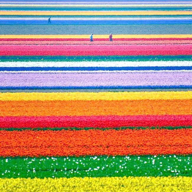 Фотографія тюльпанів у Нідерландах, myworld.org.ua