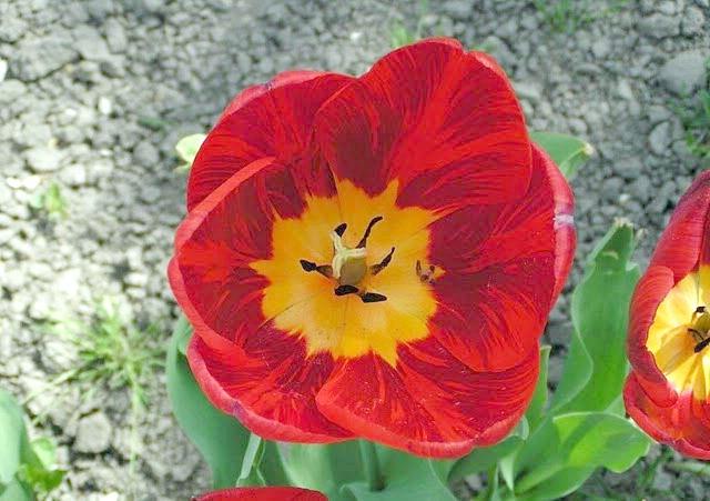 На знімку сорт тюльпанів Оксфорд