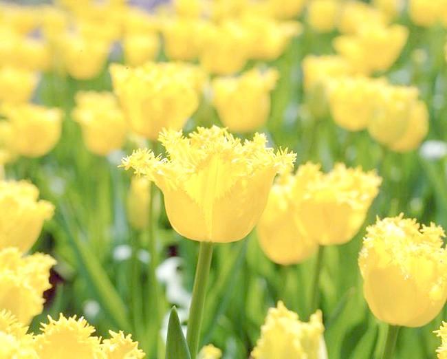 Фотографія тюльпанів Гамільтон