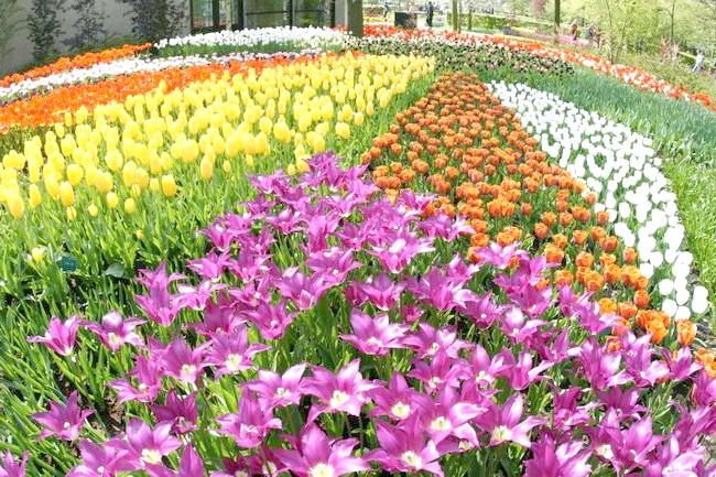 Зображення сортів голландських тюльпанів, liveinternet.ru