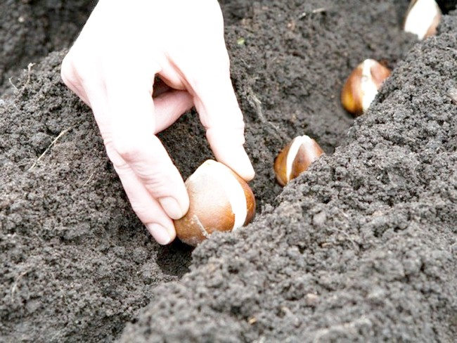 Фотографія посадки цибулин тюльпанів, atmagro.ru