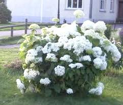 Фото - Гортензія вирощування і догляд