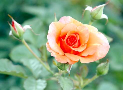 Роза, група шраби, сорт Westerland