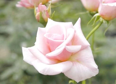 Роза, група чайно-гібридні