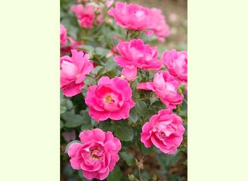 Роза, група флорибунда, сорт Flirt