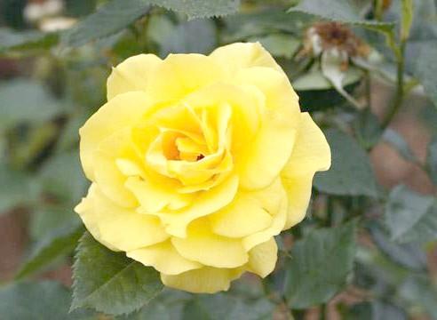 Роза, група флорибунда, сорт Frisia