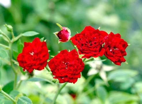 Роза мініатюрної групи, сорт Lavander-Jewell